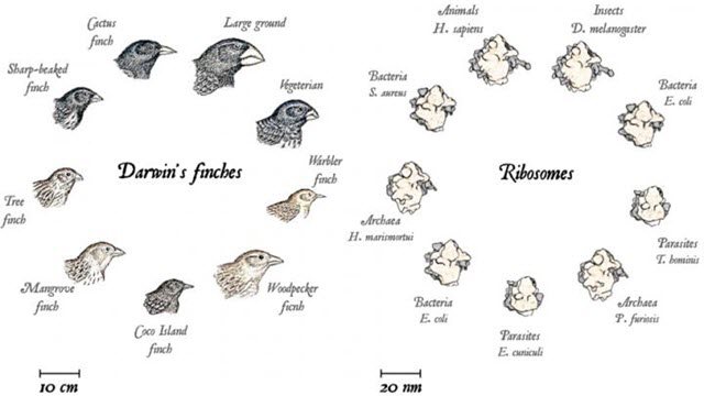 Macro- and Microevolution, from the Beaks of Finches to Ribosomes