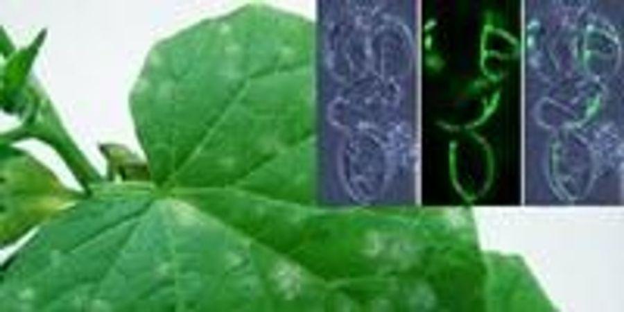 Scientists Alleviate Environmental Concerns about BCA Usage on Powdery Mildews