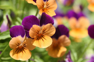 Anthocyanins in pansies