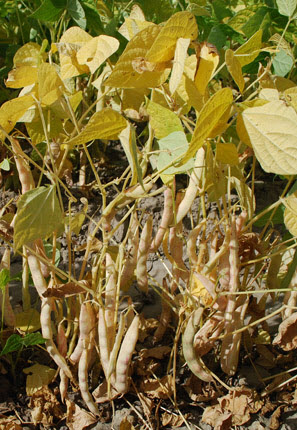 Dried pods hang from this upright bean plant