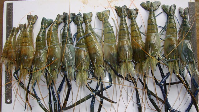 Super Shrimp Developed by Ben-Gurion University of the Negev