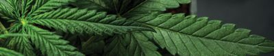 Laboratory Gas Generators Keep Up with Increasing Demands for Cannabis Testing
