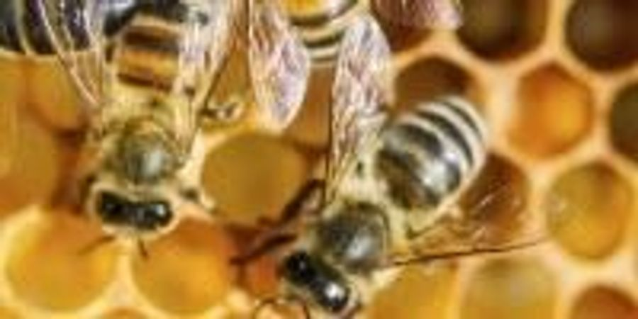 World-Class Honey Bee Facility Reveals Insights into Workings of Human Brain