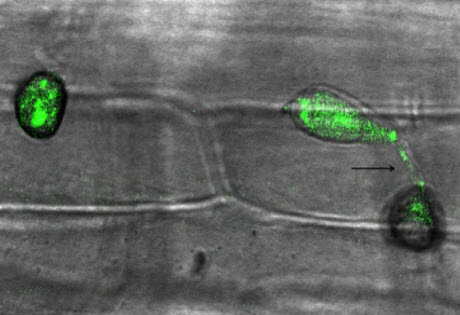 rice blast fungus M. oryzae