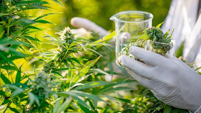 marijuana research
