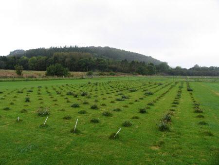 Six red clover varieties