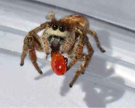 Habronattus pyrrithrix, a species of jumping spiders
