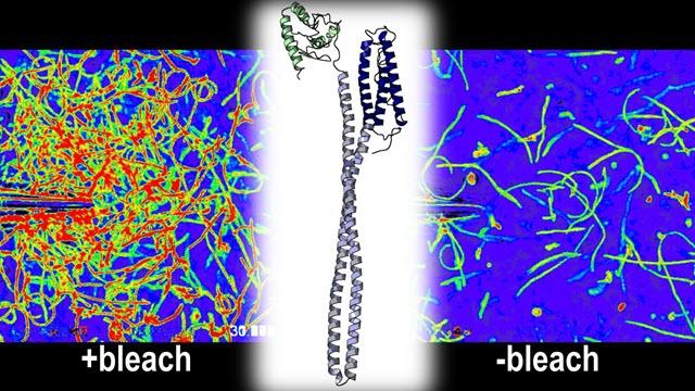 H. pylori Uses TlpD to Sense Bleach