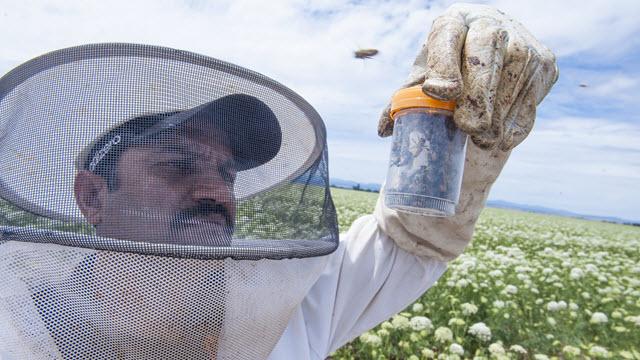 Ramesh Sagili, Oregon State University associate professor of apiculture and Extension specialist,