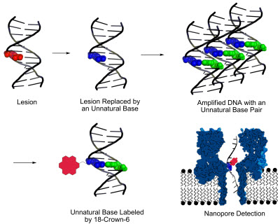 a new method, developed at the University of Utah, for identifying DNA lesions, or sites of damage on DNA strands that can lead to disease-causing mutations