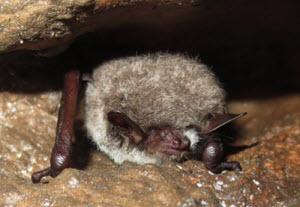 eastern water bat (Myotis petax)