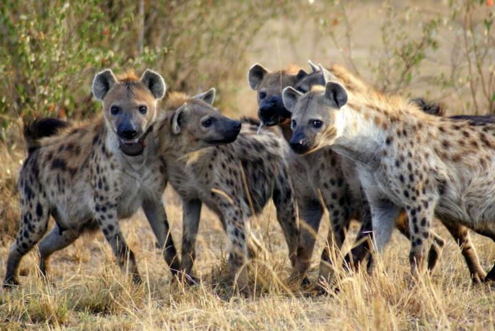 spotted hyenas in Kenya.
