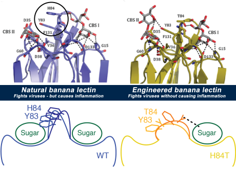 banana lectin molecule diagram