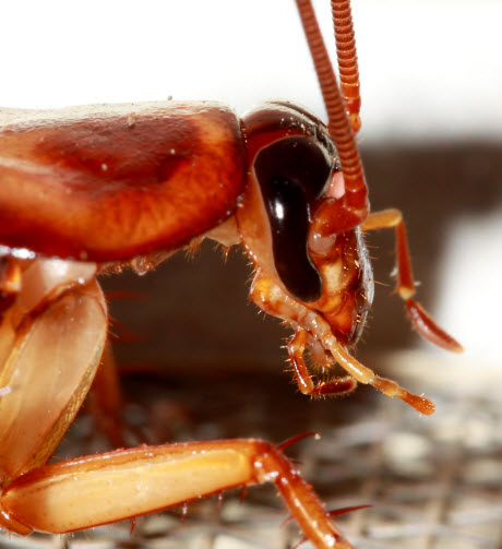 biologists find keys to driving a cockroach