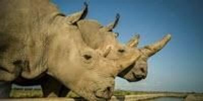 Successful Egg Harvest Breaks New Ground in Saving the Northern White Rhinoceros