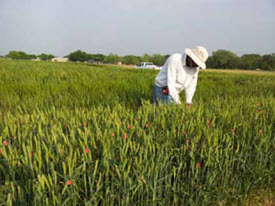 tagging wheat plant heads at Castroville, Texas