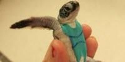 Sea Turtles Don Swimsuits for Science
