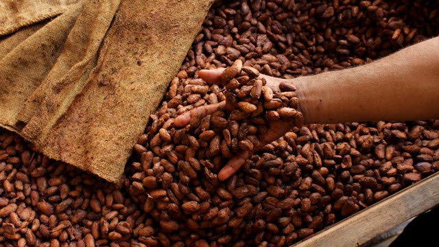 Fermentation of cocoa beans