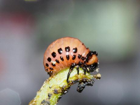 potato beetle larvae