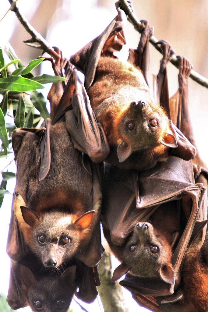 Little Red Flying Foxes Hanging in a Close Group, in Maitland NSW (IMAGE)