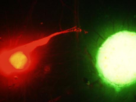 fluorescence image