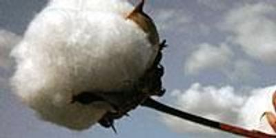 USDA Scientists, International Colleagues Sequence Upland Cotton Genome