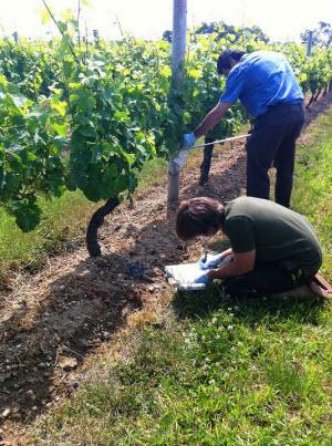 grapevine microbe sampling