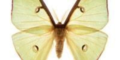 Moths Shed Light on how to Fool Enemy Sonar