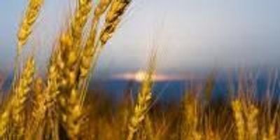 Study Finds Climate Change may Dramatically Reduce Wheat Production