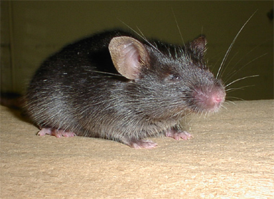 mouse with cataracts