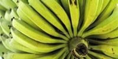 Artificial Intelligence Helps Banana Growers Protect the World's Favorite Fruit
