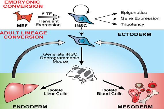 how scientist in Whitehead's Jaenisch lab generated induced neural stem cells
