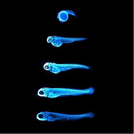 Glowing Cholesterol in Zebrafish