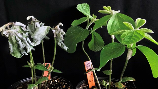 Soybean plants grown from seeds that were coated with Ascribe's lead product, right