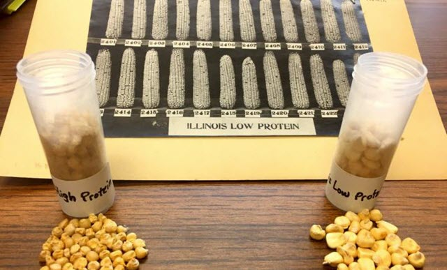 Stay-Green Gene for Corn Discovered from 118-Year-Old Experiment