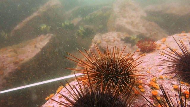 Coralline algae in a sea urchin barren