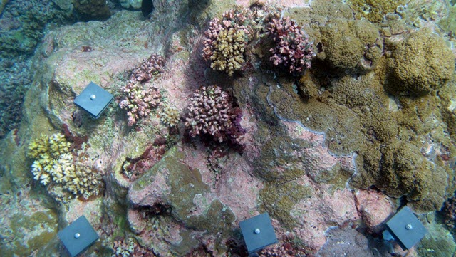 An experiment in Palmyra Atoll National Wildlife Refuge collects coral larvae