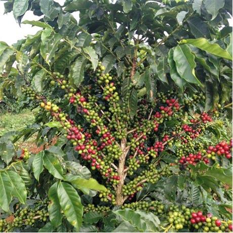 coffee bean plant of the cultivar 'Catigua'