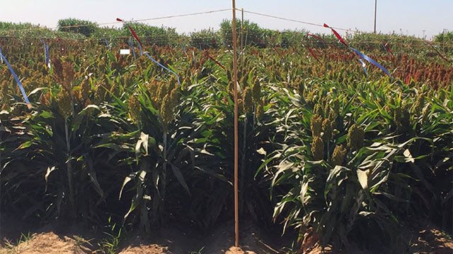sorghum crops