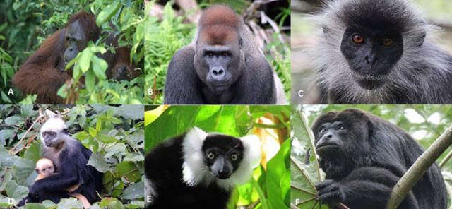 primates at risk