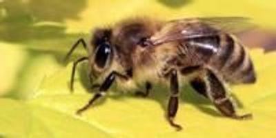 Honey Bee Colonies Down by 16%