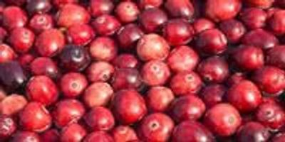 Cranberries Join Forces with Antibiotics to Fight Bacteria