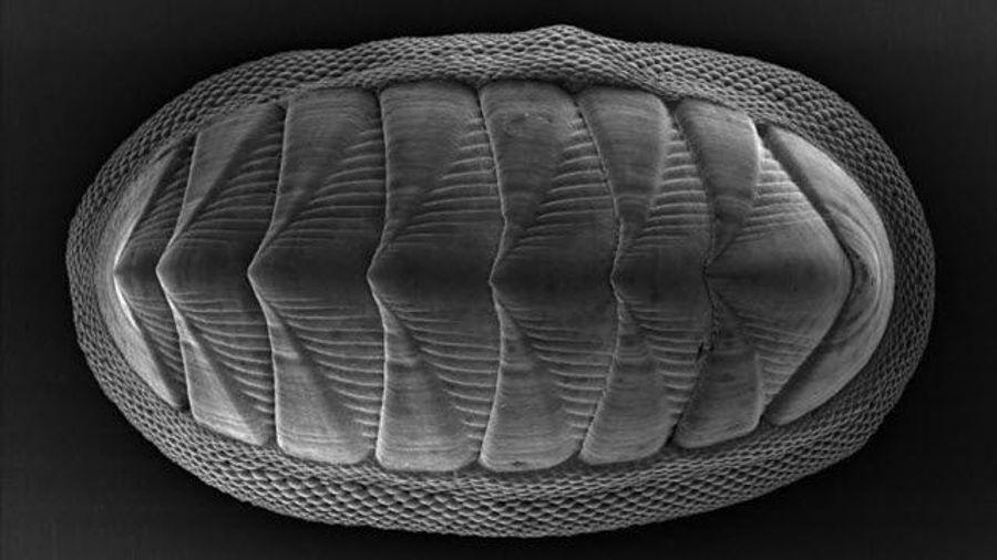Chiton Mollusk Provides Model for New Armor Design