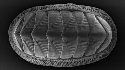 Chiton Mollusk Provides Model for New Armor Design