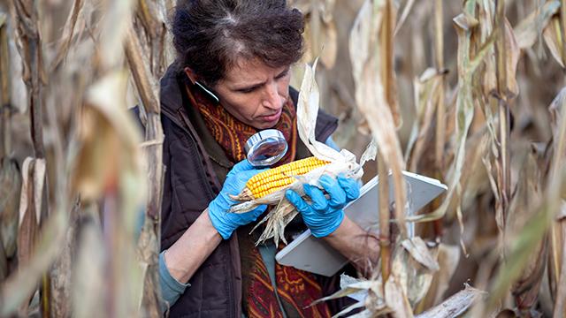 biologist examining GMO corn