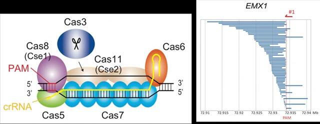 CRISPR-Cas3 System