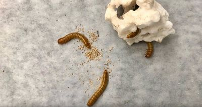 Mealworms Safely Consume Toxic Additive-Containing Plastic