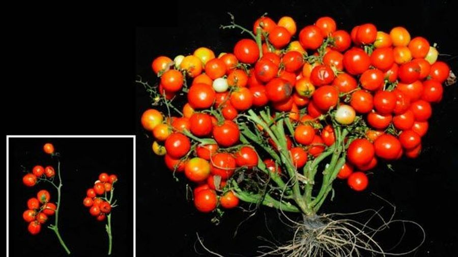 A New Tomato Ideal for Urban Gardens and Even Outer Space