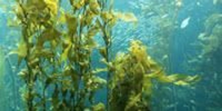 Underwater Forests a Treasure Trove of New Drugs