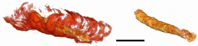 3D Image of a 550-Million-Year-Old Fossilized Tube with Internal Gut